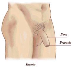 El pecho de la mujer desarrollo del patrn masculino
